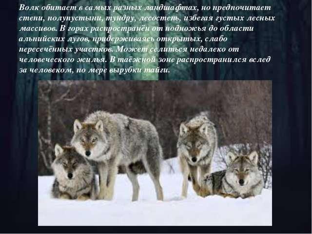 Волк обитает в самых разных ландшафтах, но предпочитает степи, полупустыни,т...