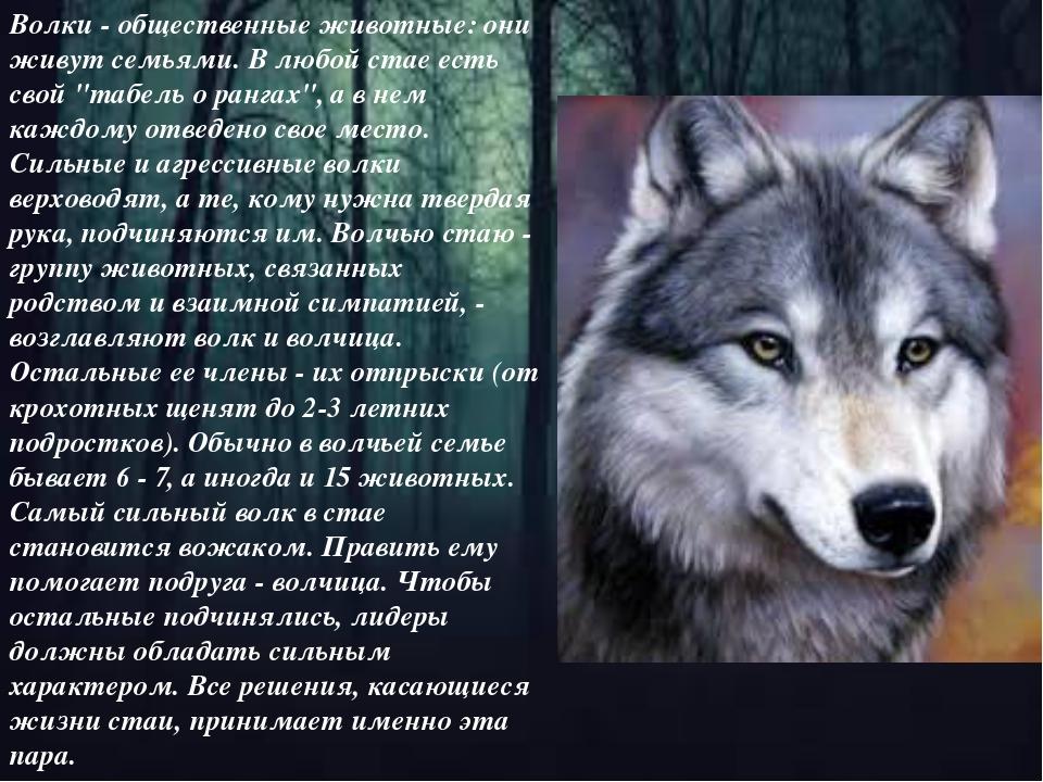 """Волки - общественные животные: они живут семьями. В любой стае есть свой """"таб..."""