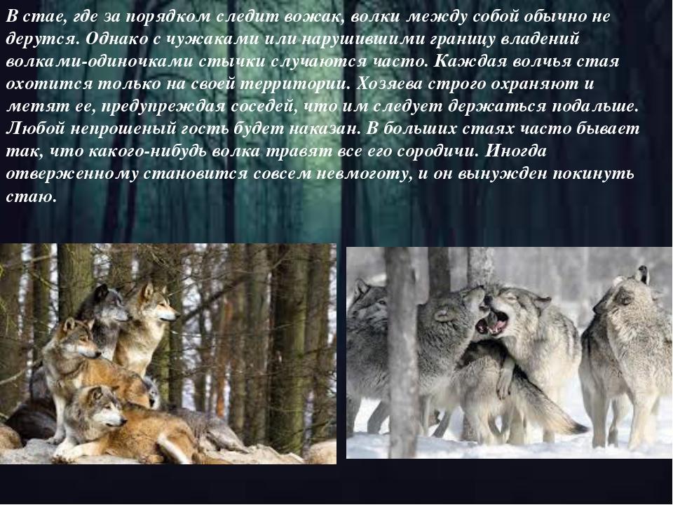 В стае, где за порядком следит вожак, волки между собой обычно не дерутся. Од...