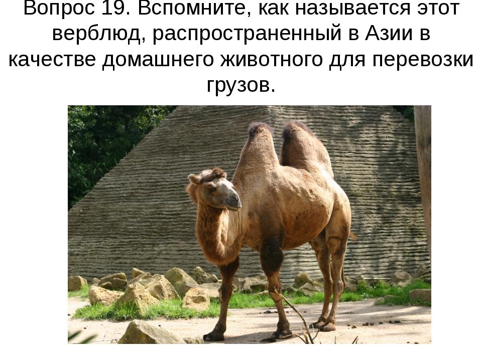 Вопрос 19. Вспомните, как называется этот верблюд, распространенный в Азии в...