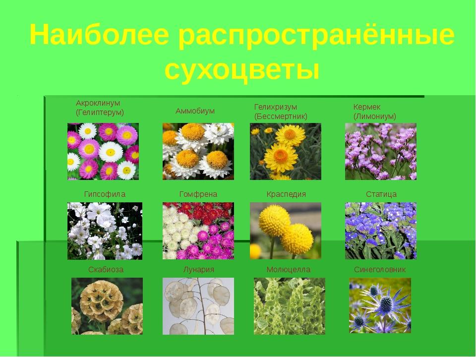 Наиболее распространённые сухоцветы Акроклинум (Гелиптерум) Аммобиум Гелихриз...