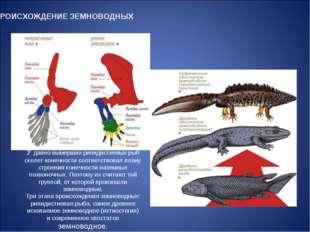 ПРОИСХОЖДЕНИЕ ЗЕМНОВОДНЫХ У давно вымерших рипидистиевых рыб скелет конечност