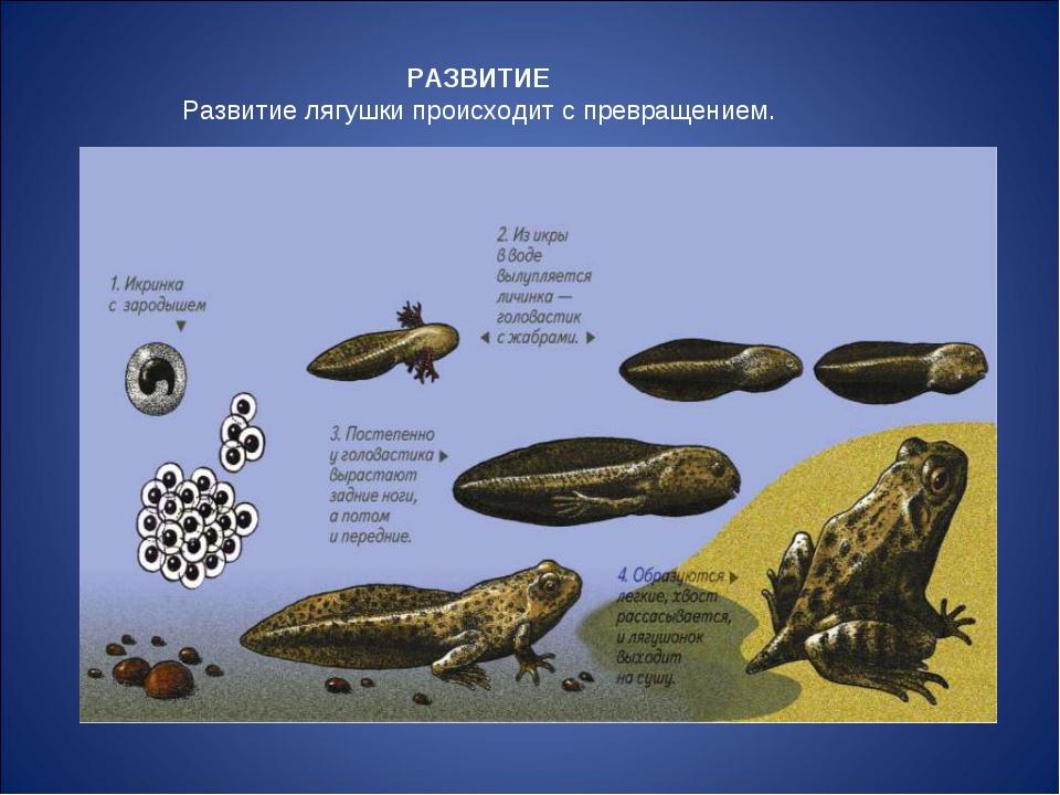 РАЗВИТИЕ Развитие лягушки происходит с превращением.