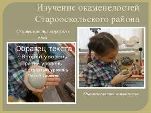 Изучение окаменелостей Старооскольского района Окаменелости морского ежа Окам