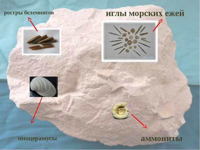 иноцерамусы аммониты иглы морских ежей ростры белемнитов