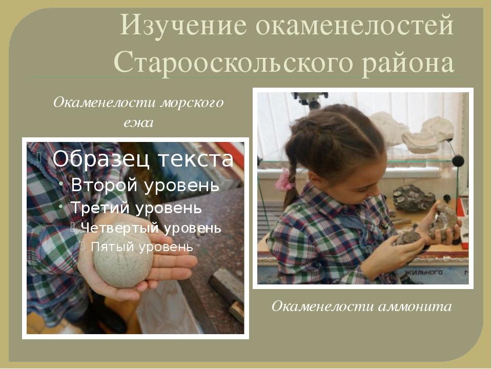 Изучение окаменелостей Старооскольского района Окаменелости морского ежа Окам...