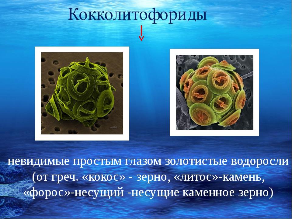 невидимые простым глазом золотистые водоросли (от греч. «кокос» - зерно, «ли...