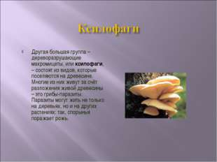 Другая большая группа – дереворазрушающие макромицеты, или ксилофаги, – состо