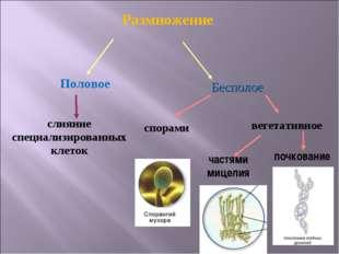 Размножение Половое Бесполое слияние специализированных клеток спорами вегет