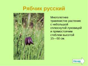 Рябчик русский Назад Многолетнее травянистое растение с небольшой сплюснутой