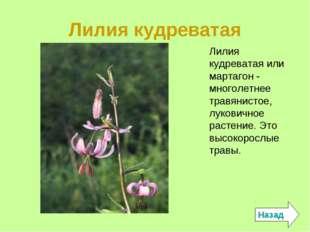 Лилия кудреватая Назад Лилия кудреватая или мартагон - многолетнее травянисто