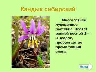 Кандык сибирский Многолетнее луковичное растение. Цветет ранней весной 2—3 не