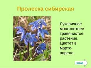 Пролеска сибирская Луковичное многолетнее травянистое растение. Цветет в март