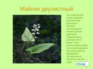 Майник двулистный Это небольшое, очень изящное многолетнее растение с белыми,