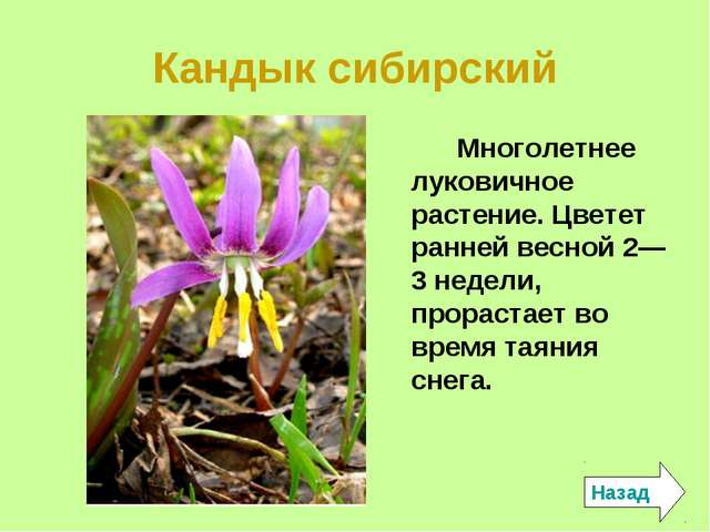 Кандык сибирский Многолетнее луковичное растение. Цветет ранней весной 2—3 не...