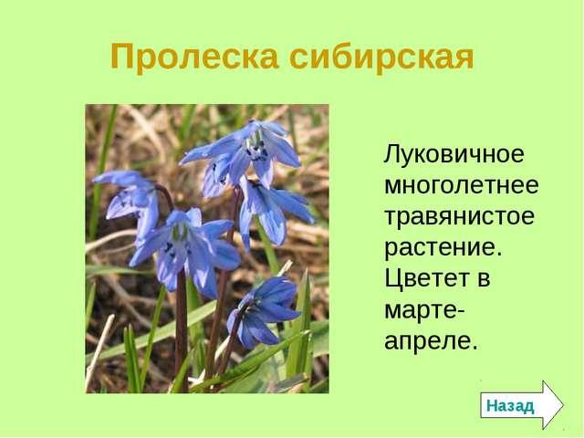 Пролеска сибирская Луковичное многолетнее травянистое растение. Цветет в март...