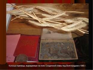 Колосья пшеницы, выращенные на поле Солдатской славы под Волгоградом в 1985 г.