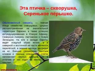 Эта птичка – скворушка, Серенькое пёрышко. Обыкнове́нный скворе́ц — певчая пт