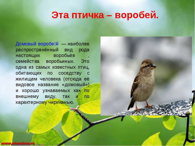 Эта птичка – воробей. Домовый воробе́й — наиболее распространённый вид рода н...