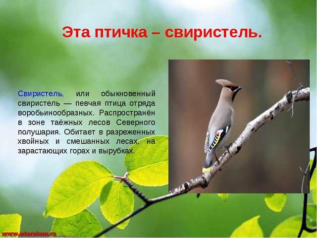 Эта птичка – свиристель. Свиристель, или обыкновенный свиристель — певчая пти...