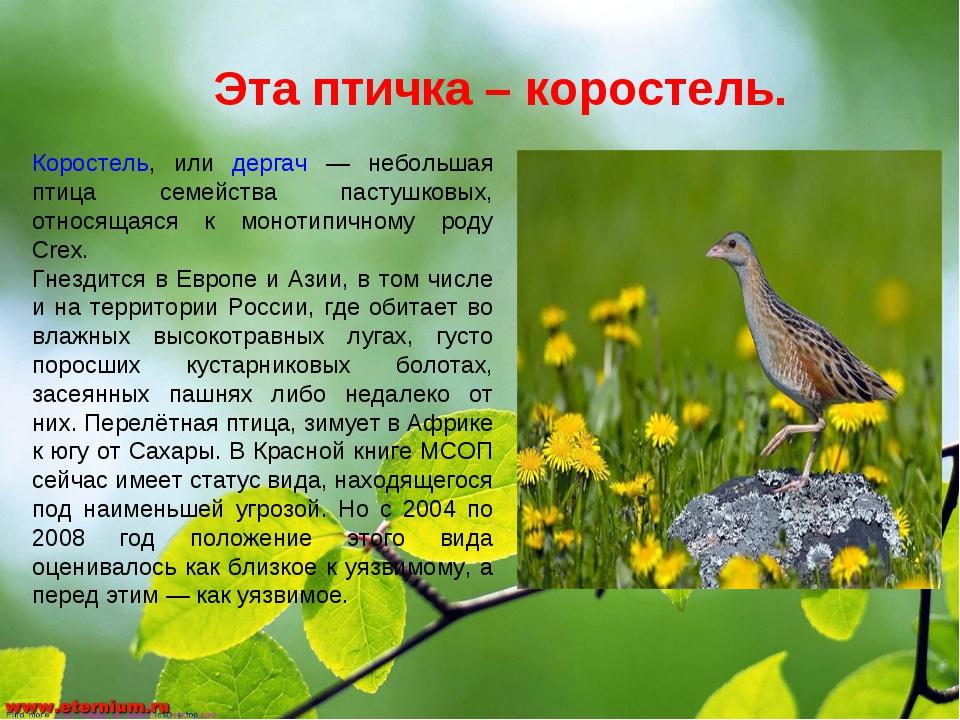 Эта птичка – коростель. Коростель, или дергач — небольшая птица семейства пас...