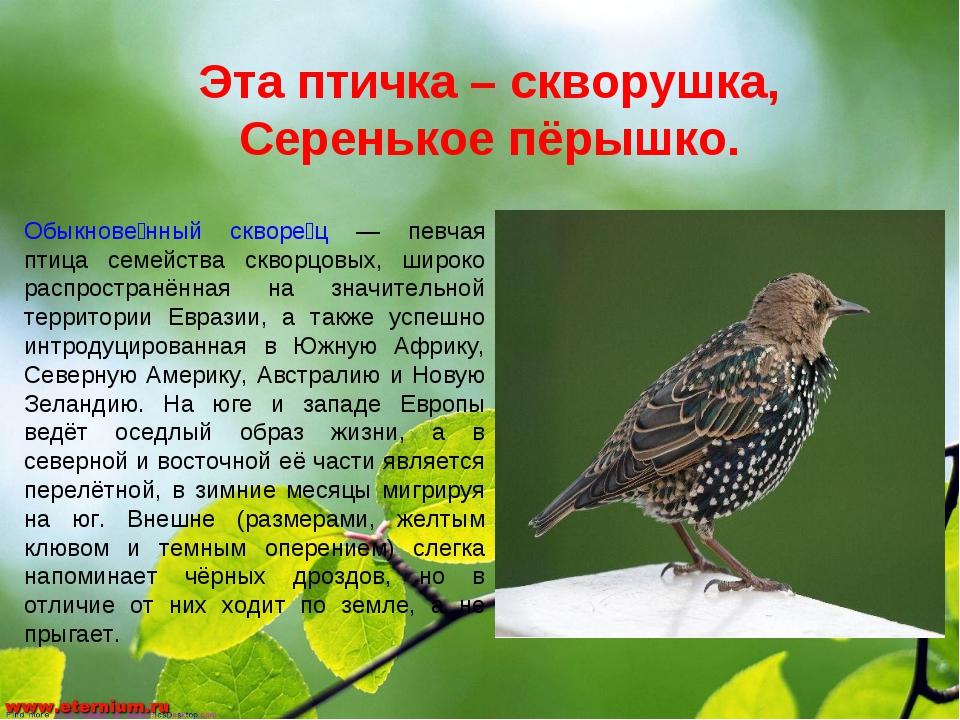 Эта птичка – скворушка, Серенькое пёрышко. Обыкнове́нный скворе́ц — певчая пт...