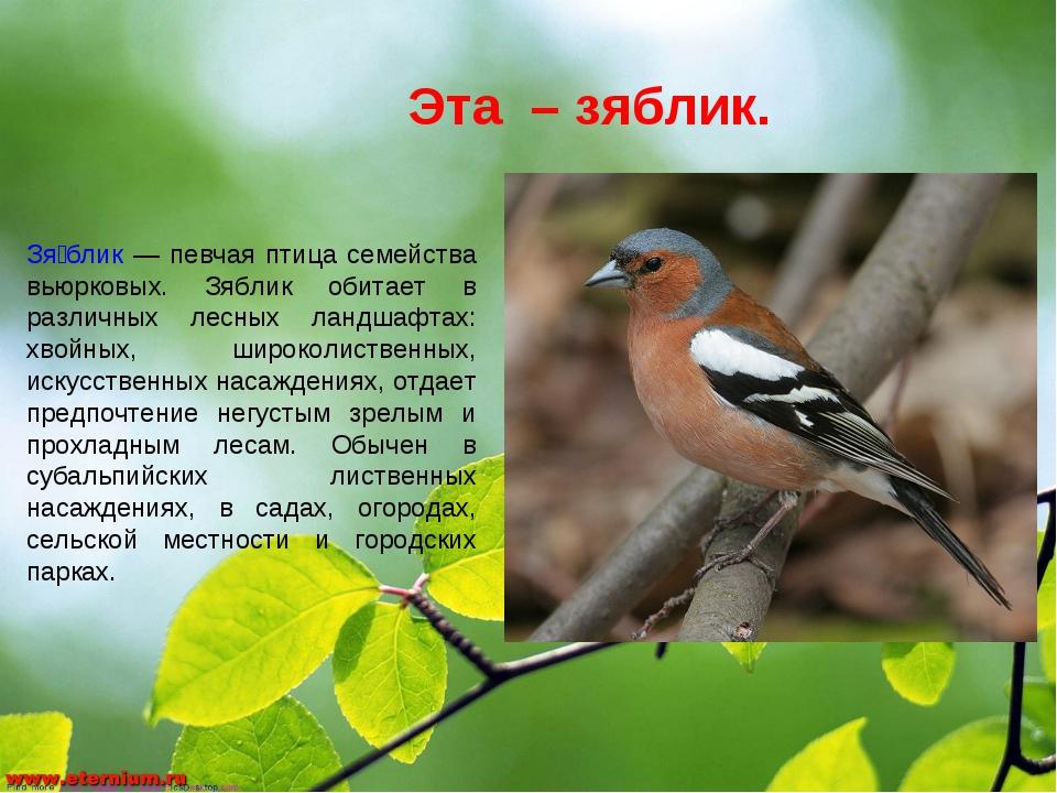 Эта – зяблик. Зя́блик — певчая птица семейства вьюрковых. Зяблик обитает в ра...