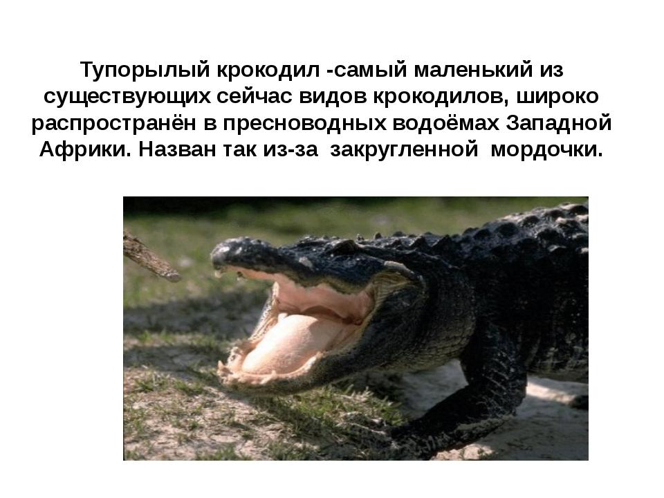 Тупорылый крокодил -самый маленький из существующих сейчас видов крокодилов,...
