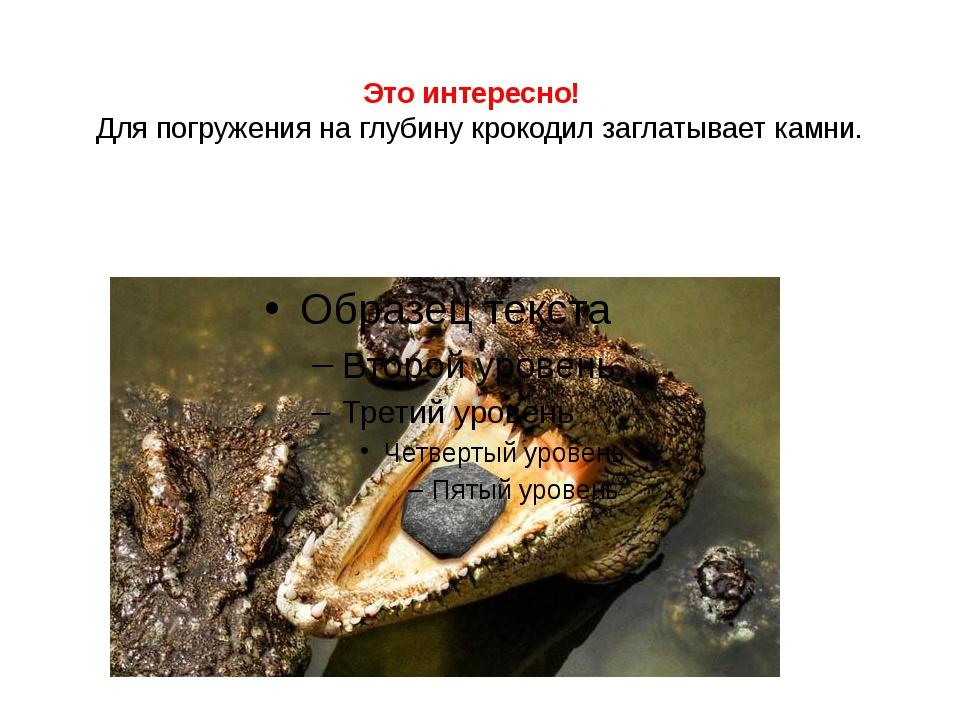Это интересно! Для погружения на глубину крокодил заглатывает камни.