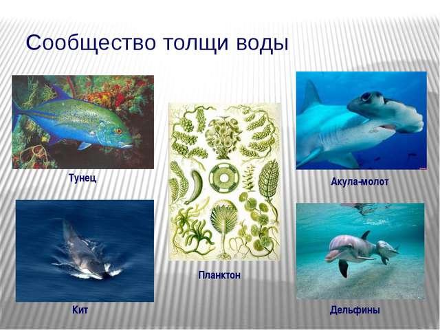 Сообщество толщи воды Тунец Акула-молот Кит Дельфины Планктон