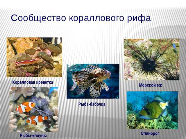 Сообщество кораллового рифа Морской еж Коралловая креветка Рыбы-клоуны Рыба-б...