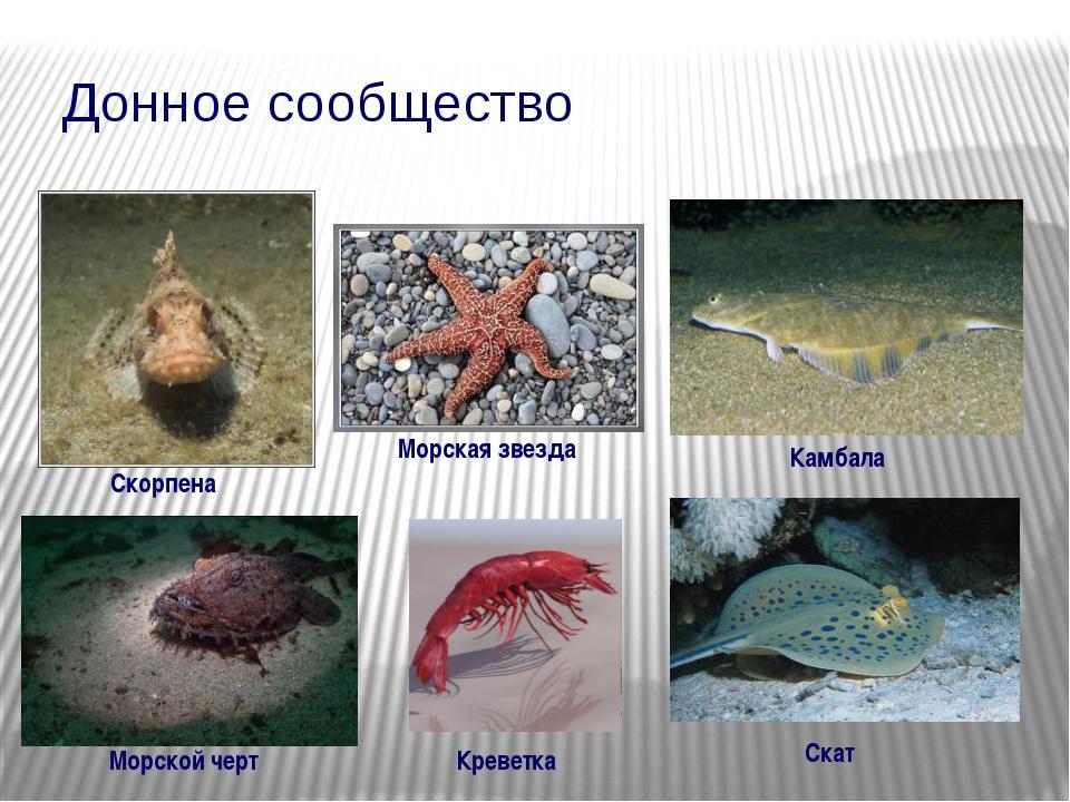 Донное сообщество Скорпена Камбала Морской черт Скат Морская звезда Креветка
