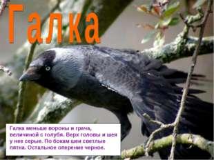 Галка меньше вороны и грача, величиной с голубя. Верх головы и шея у нее серы