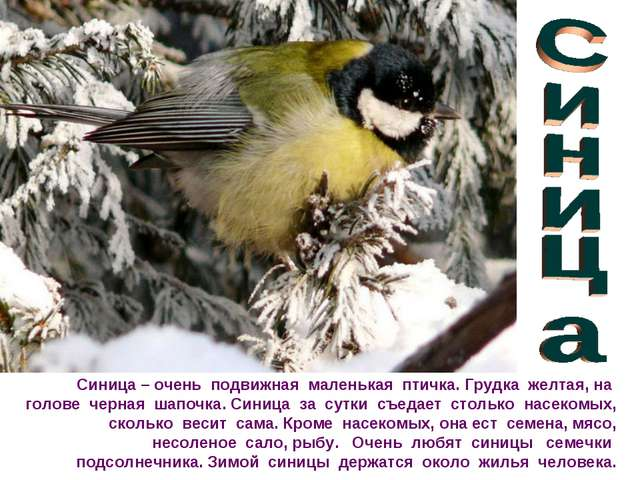 Синица – очень подвижная маленькая птичка. Грудка желтая, на голове черная ша...
