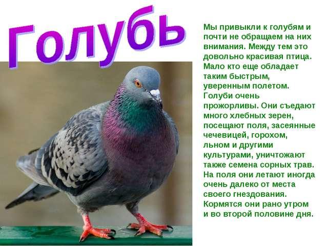 Мы привыкли к голубям и почти не обращаем на них внимания. Между тем это дово...