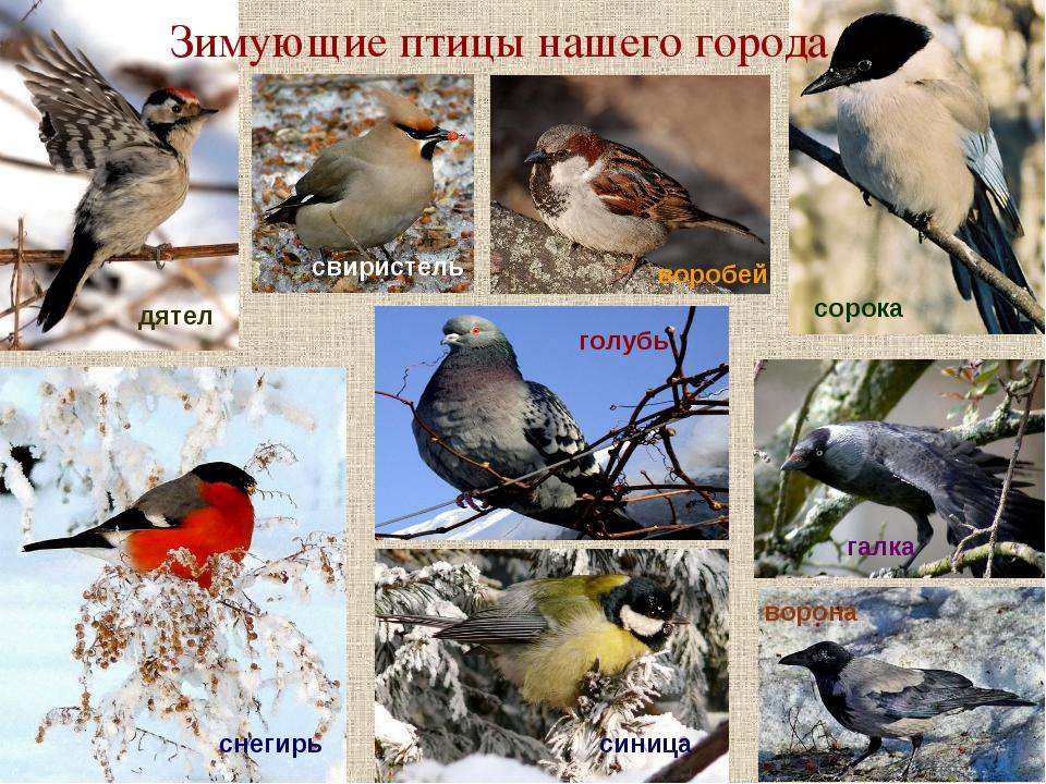 Зимующие птицы нашего города воробей снегирь голубь дятел галка ворона свирис...