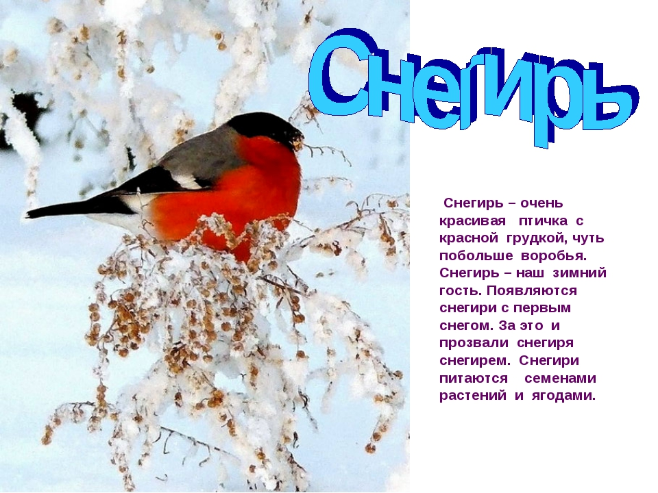 Снегирь – очень красивая птичка с красной грудкой, чуть побольше воробья. Сн...