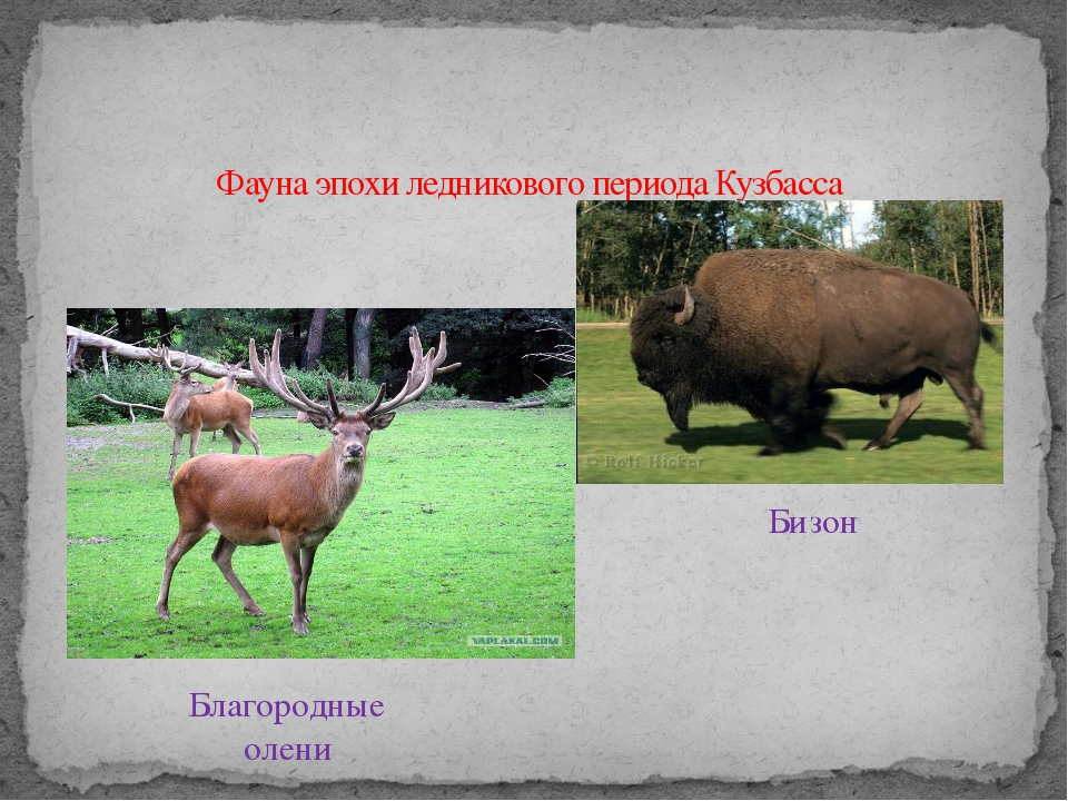 Фауна эпохи ледникового периода Кузбасса Бизон Благородные олени