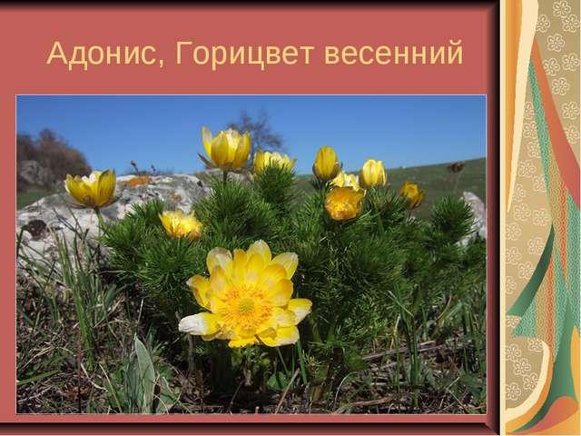 Адонис, Горицвет весенний