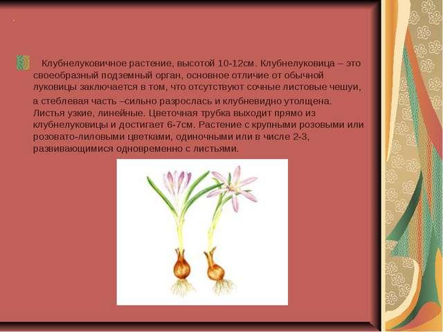 . Клубнелуковичное растение, высотой 10-12см. Клубнелуковица – это своеобразн...