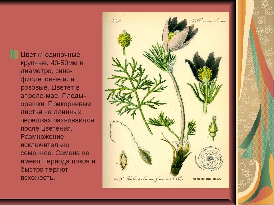 Цветки одиночные, крупные, 40-50мм в диаметре, сине-фиолетовые или розовые....