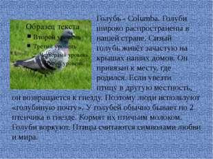 Голубь - Columba. Голуби широко распространены в нашей стране. Сизый голубь