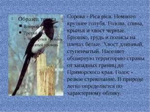 Сорока - Pica pica. Немного крупнее голубя. Голова, спина, крылья и хвост че