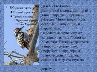 Дятел - Piciformes. Величиной с галку. Длинный клюв. Окраска оперения – пёст