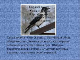 Серая ворона - Corvus cornix. Величина и облик общеизвестны. Голова, крылья