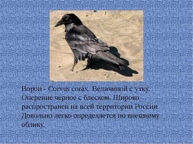 Ворон - Corvus corax. Величиной с утку. Оперение черное с блеском. Широко ра...