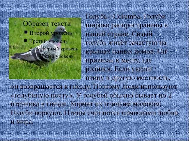 Голубь - Columba. Голуби широко распространены в нашей стране. Сизый голубь...
