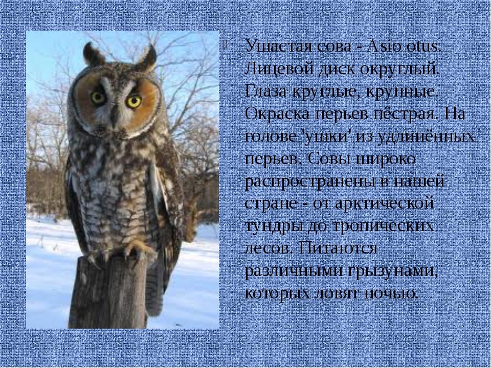 Ушастая сова - Asio otus. Лицевой диск округлый. Глаза круглые, крупные. Окр...