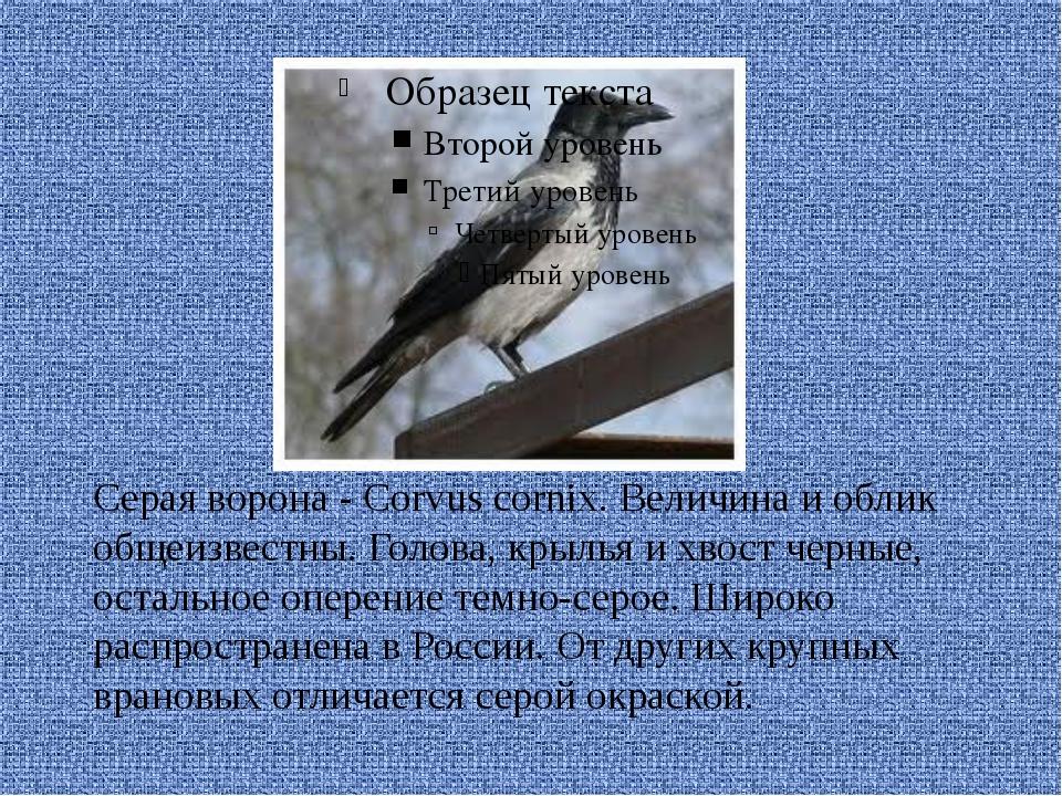 Серая ворона - Corvus cornix. Величина и облик общеизвестны. Голова, крылья...