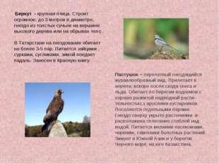 Беркут - крупная птица. Строит огромное, до 3 метров в диаметре, гнездо из т